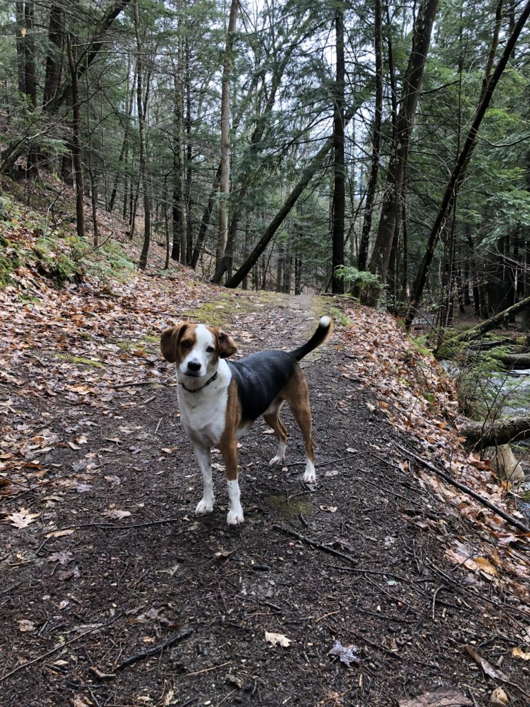 A friendly beagle standing on a hiking trail surrounded by trees and leaves looking at the camera.